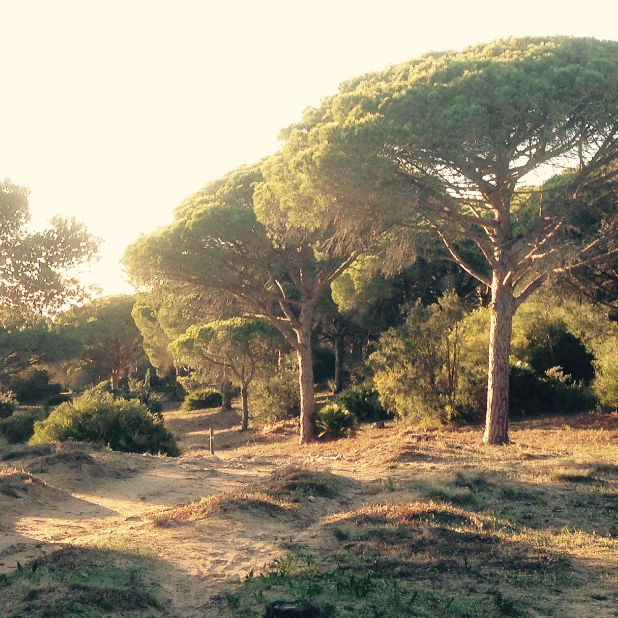 Pinienwald im Abendlicht bei Los Caños de Meca