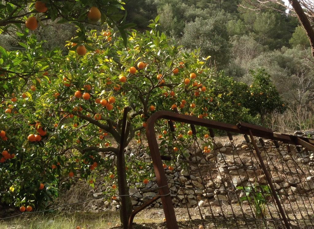 Orangenplantage in Andalusien