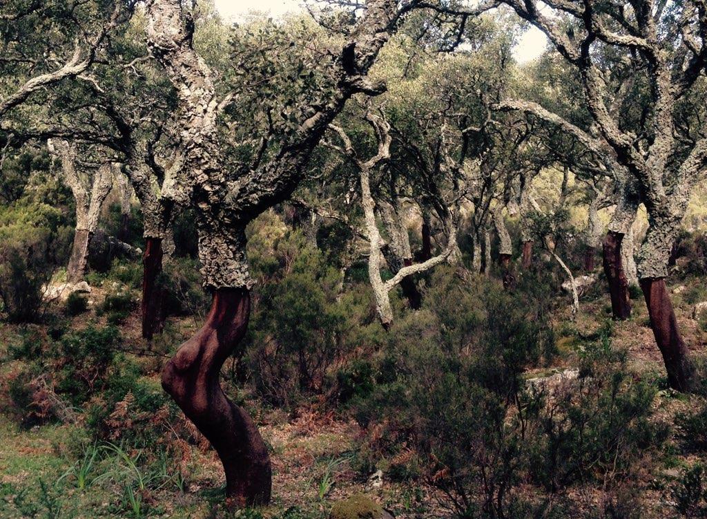 Entrindete Bäume im Naturpark Los Alcornocales. Andalusien zu Fuss erkunden.